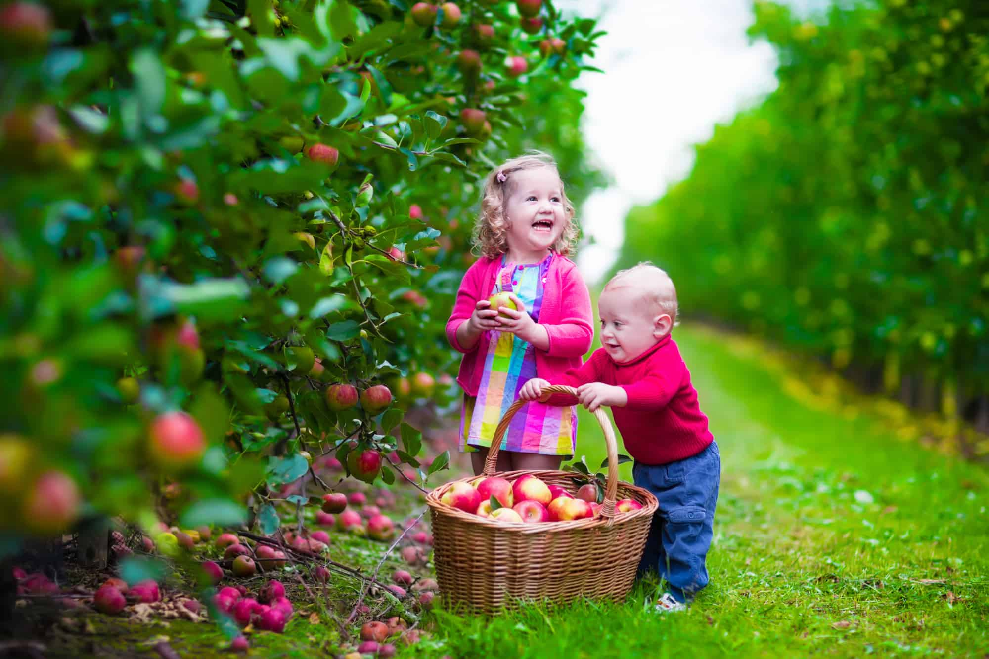 Kids picking fresh apples on a farm